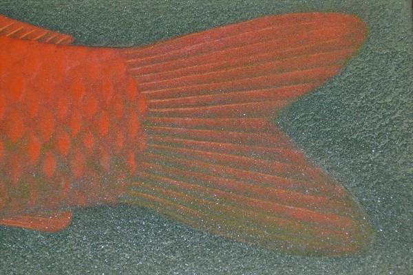 錦鯉(赤)④